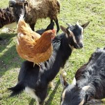 Poules et chèvres